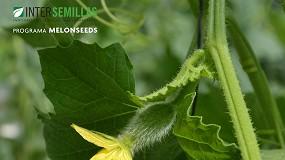 Foto de Avanzando en el proyecto MELONSEEDS: investigación de variedades de melón resistentes a diversos patógenos que perjudican su calidad y productividad