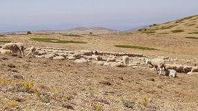 Foto de Lanzado un nuevo programa de vigilancia y control de la epididimitis ovina en España