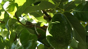 Foto de 'Abacate do Algarve' registado como marca coletiva