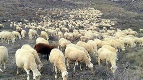Foto de Solicitan ayudas para los ganaderos de Teruel afectados por el brote de brucelosis ovina