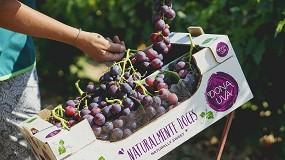 Foto de Frutalmente aposta na uva sem grainha e triplica área de produção