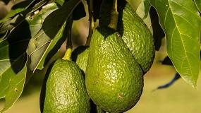 Foto de Plantação de abacateiros em Reserva Natural viola o Plano de Ordenamento