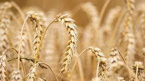 Foto de ANPOC divulga variedades de trigo mole recomendadas