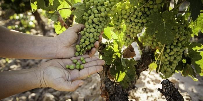 Mitigar los efectos del cambio climático en la uva desde una perspectiva ecológica