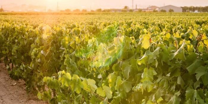 El futuro del vino del Penedès