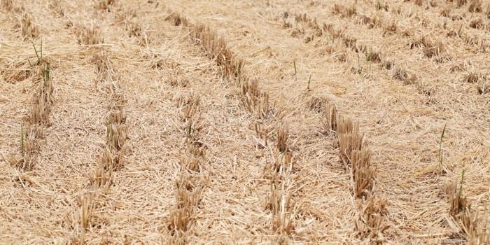 Nuevo proyecto europeo para convertir podas citrícolas y paja del arroz en alimento animal