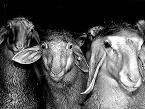 ACCÉSIT patrocinado la empresa DE HEUS y dotado con 150 euros para la foto relacionada con la producción de lechazos titulada 'NO SOY LA OVEJA NEGRA', presentada por MARÍA GARCÍA FERRERO (Zamora).