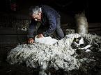ACCÉSIT patrocinado el SALÓN DEL OVINO DE CASTUERA y dotado con 150 euros para la foto relacionada con prácticas de ganadería extensiva mejor valorada por el jurado, que ha sido otorgado a la foto titulada 'MOTILA', presentada por JONATHAN TAJES OLFOS (Valladolid).