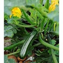 Semillas de calabacín verde