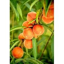 Soluciones informáticas para fruticultura, citricultura y olivicultura
