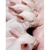 Soluciones informáticas para el sector porcino