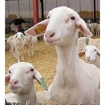 Soluciones informáticas para el sector ovino