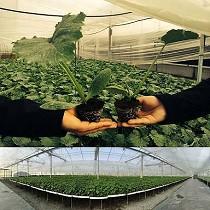 Cultivo en maceteros Big Plant