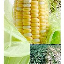 Herbicida para maíz, ajo y cebolla