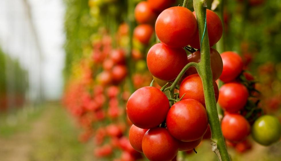 Efecto del nitrógeno sobre la producción de un cultivo de tomate en  invernadero - Horticultura