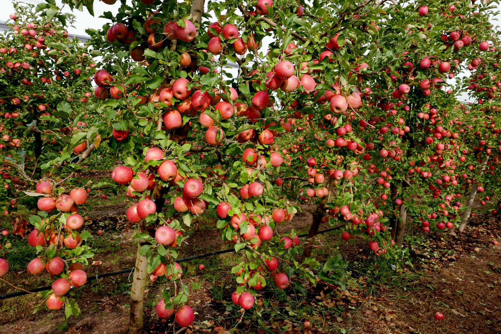 manzana rosa donde conseguir