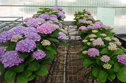 Control del crecimiento y desarrollo de plantas - Poda de hortensias en maceta ...