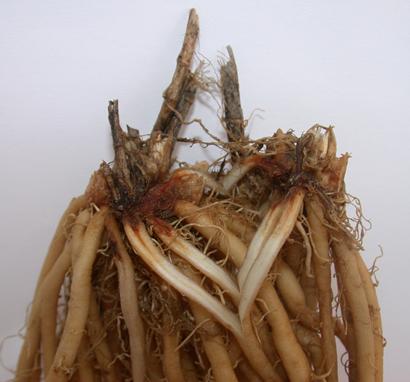 La podredumbre de rizomas y raíces del espárrago causada por ...